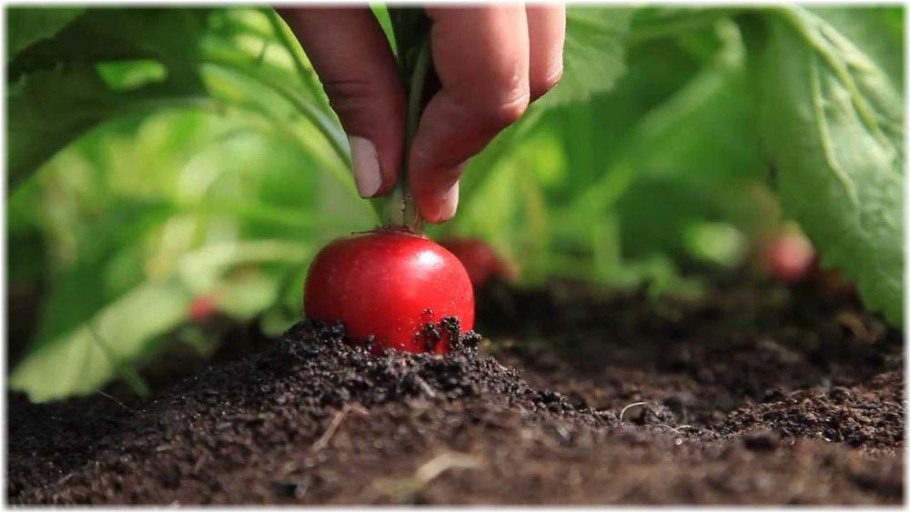 Как сажать редис в открытый грунт