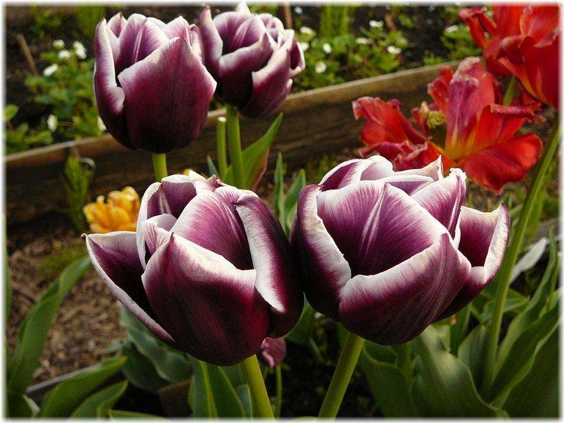 Когда сажать тюльпаны в 2016 году