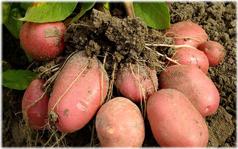 Когда сажать картофель в 2016 году