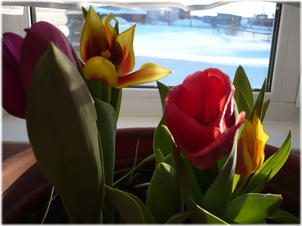 Когда сажать тюльпаны на выгонку к 8 марта