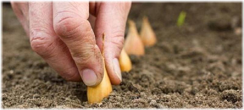 Когда сажать лук севок в открытый грунт в 2016 году