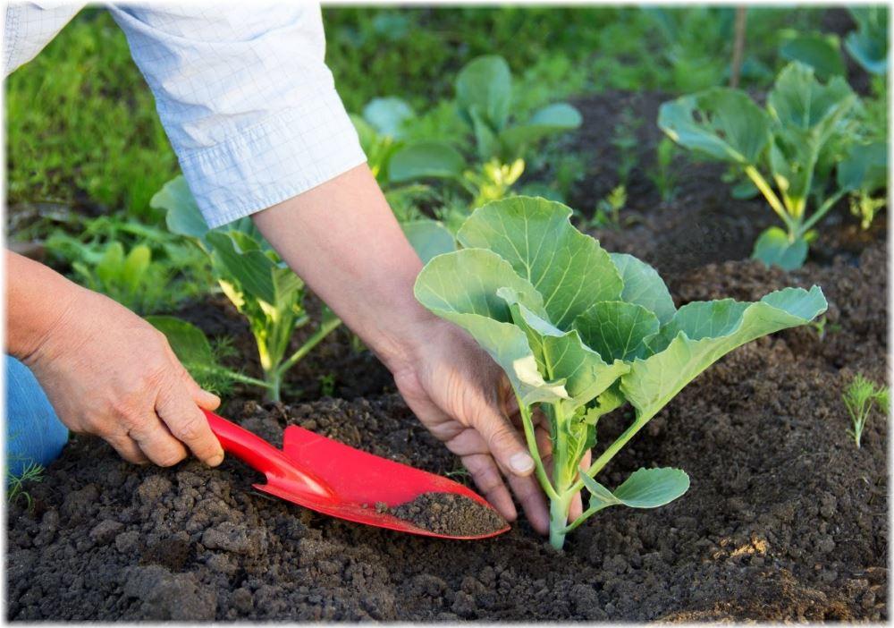 Сроки посадки капусты в Подмосковье, Ленинградской области и Сибири