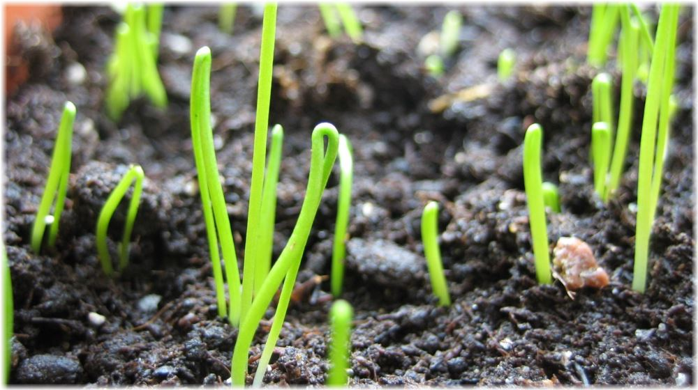 Когда сеять лук-порей на рассаду в 2016 году по лунному календарю