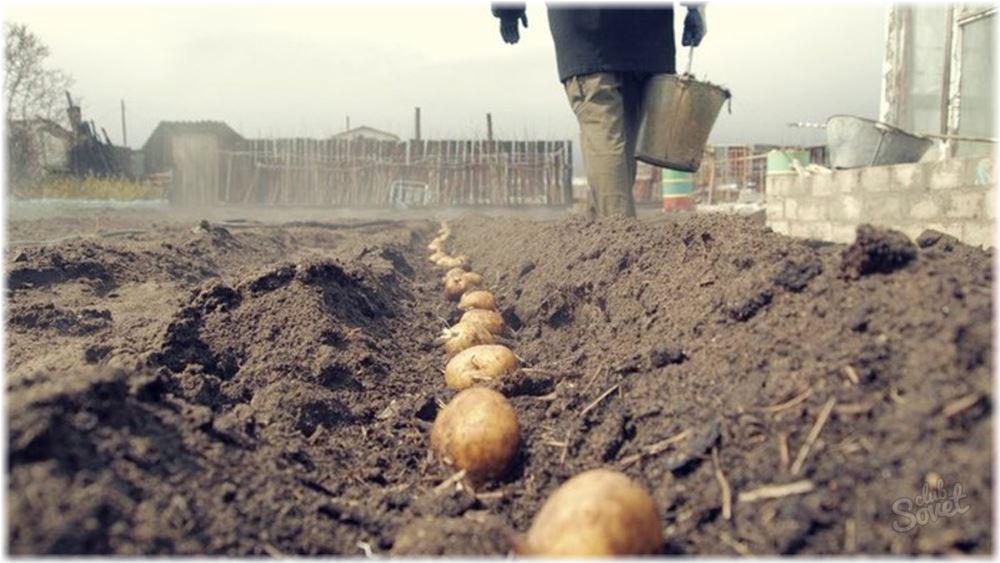 Когда сажать картошку в открытый грунт в Подмосковье в 2016 году
