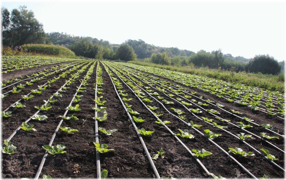 Пять полезных советов для удачного посева капусты в 2016 году