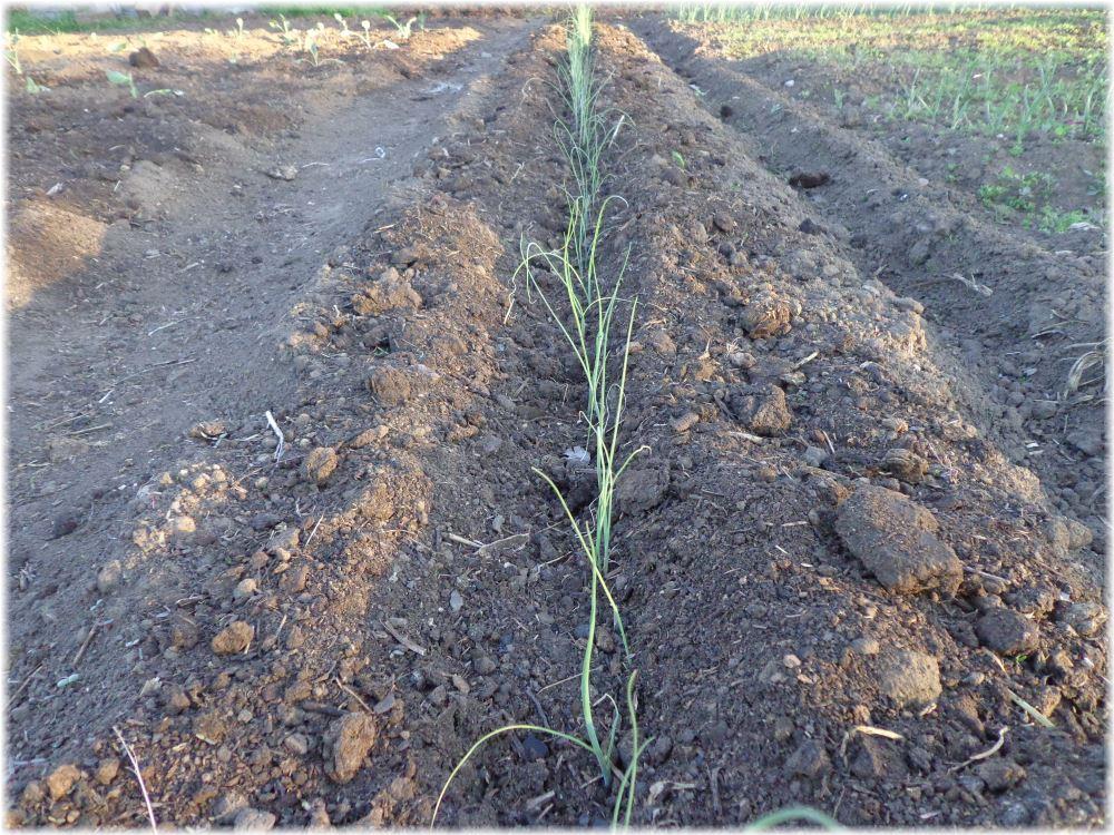 Когда сеять лук-порей на рассаду в 2016 году в Сибири
