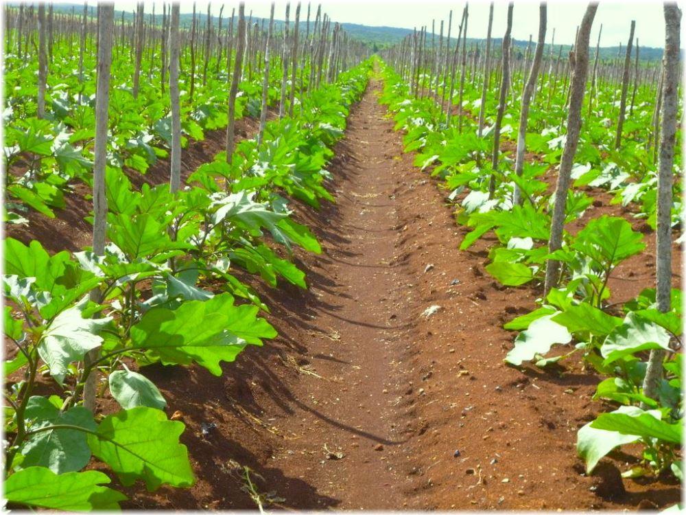 Время посева баклажанов для открытого грунта