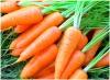 Когда сажать морковь под зиму и весной в 2016 году